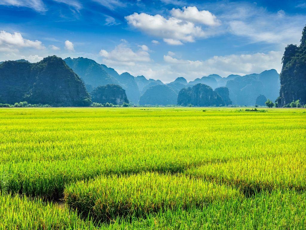 Campos de Arroz em Mui Ne Vietname
